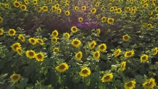 2 in 1 video. Aerial view of flowering sunflowers field
