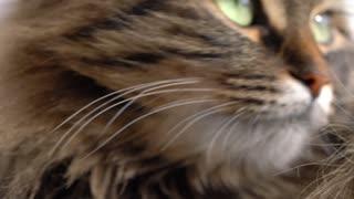 Cute muzzle of a fluffy tabby cat