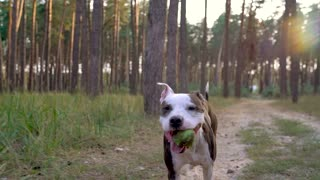 Dog staff runs through the forest at sunset. Slow motion