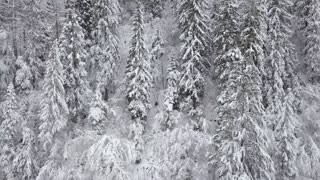 Flight over snowy mountain coniferous forest. Clear frosty weather