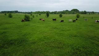 Flying over green field with grazing cows. Aerial background of country landscape. Shooted at different speeds: normal and fast
