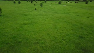 Flying over green field with grazing cows. Aerial background of country landscape