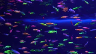 Lots of small bright neon fish in the aquarium