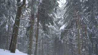 Snowstorm in a snowy mountain coniferous forest, uncomfortable unfriendly winter weather.