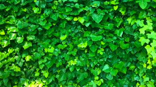 Wall is covered with green leaves that sway in the wind