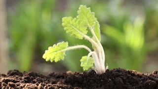 A woman pulls out a young plant from the soil. Woman tears up by the roots a young plant from the soil