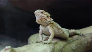 Agama - Australian dragon lizard