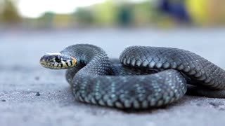 Aggressive snake ready to attack