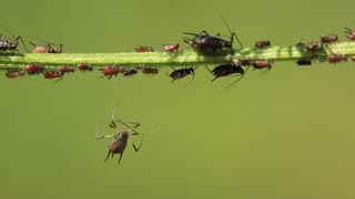 Aphids also known as plant lice and as greenflies whiteflies or blackflies are small sap sucking insects and members of the superfamily Aphidoidea. Aphids are among the most destructive insect pests on cultivated plants in temperate regions