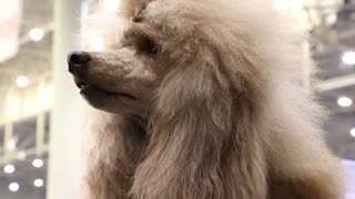 Apricot poodle with beautiful hairstyle