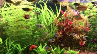 Aquarium fishes and green water plants