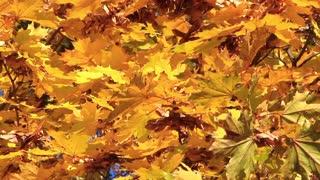 Autumnal yellow foliage