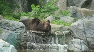 Bear lies in a brook