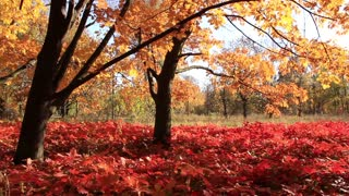 Beautiful autumn. Autumnal yellow trees and red foliage
