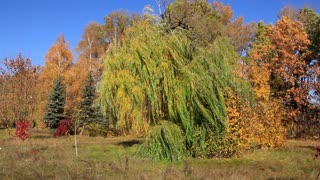 Beautiful autumn. Green willow and wind