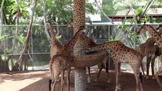 Beautiful giraffes in zoological garden