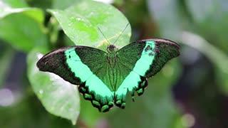 Beautiful green butterfly sit on wet green leaf in jungle