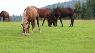 Beautiful horses on the grassland