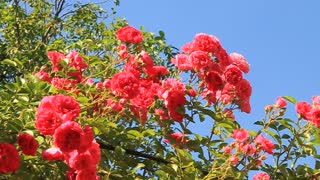 Beautiful red roses with green leafs on blue background