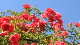Beautiful roses in garden on blue background