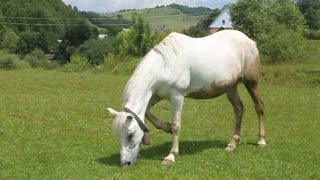 Beautiful white horse eating a grass on green meadow