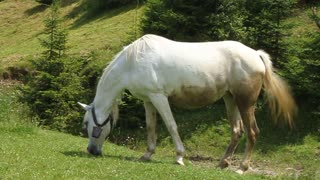 Beautiful white horse eating grass on green meadow