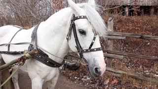 Beautiful white horse in harness