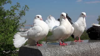 Beautiful white peacock pigeons
