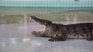 Big crocodile with open mouth at crocodile show in Pattaya, Thailand