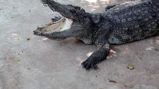 Big crocodile with open mouth