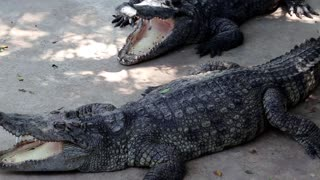 Big crocodiles with open mouth