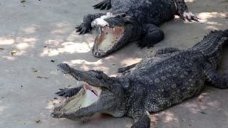 Big crocodiles with open mouths