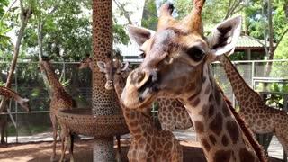 Big giraffes in zoological garden