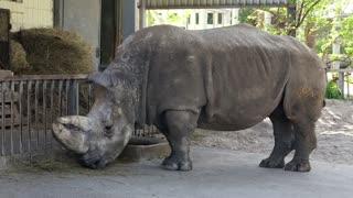 Big rhinoceros in zoological garden