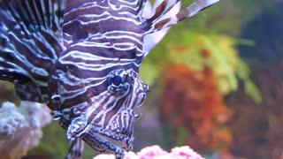 Big striped aquarian fish