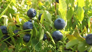 Bilberry bush with ripe berryes and green leafs
