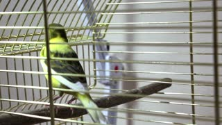Bird in cage video stock footage