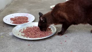 Black hungry cat eats pet food
