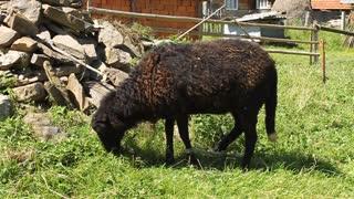 Black lamb on green grass in rural settlement