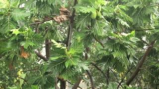 Breadfruit tree under pouring rain. Tropical downpour