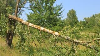 Broken tree after storm