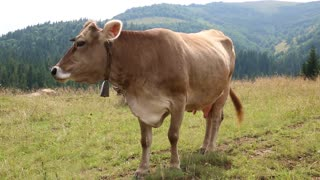 Brown cow on the grassland