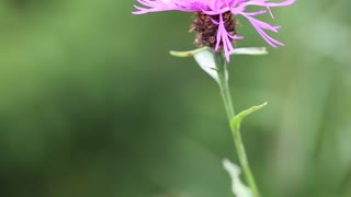 Brown knapweed or Centaurea jacea - purple flower in Carpatian mountains