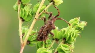 Bug with big antenna