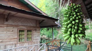 Bunch of small green bananas and bungalow on the river