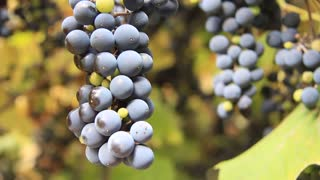 Bunches of fresh grapes with green leaves