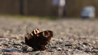 Butterfly on the road