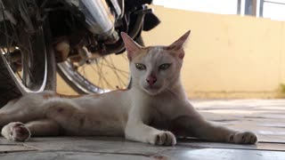 Cambodian cat lying near a motorcycle