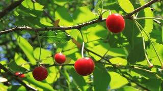 Cherry tree video stock footage