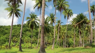 Coconut palms on the Koh Chang island in Thailand